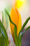 Желтый конец-вверх цветка крокуса Стоковая Фотография