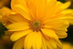Желтый конец макроса цветка вверх Стоковые Изображения
