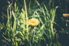 Желтый конец одуванчика вверх весной паркует Стоковые Фото