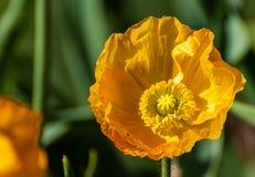 Желтый конец цветка вверх по изображению с зеленой предпосылкой стоковое фото rf