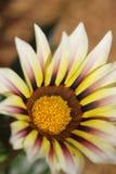 Желтый красивый цветок в севере Таиланда стоковое фото rf