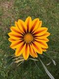 Желтый красный зацветать цветка Gazania Стоковые Изображения