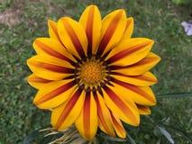 Желтый красный зацветать цветка Gazania Стоковая Фотография