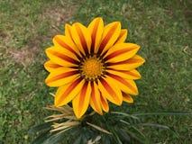 Желтый красный зацветать цветков Gazania Стоковые Фотографии RF