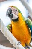 Желтый красный попугай взбирается вдоль веревочки стоковое изображение