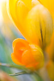 Желтый крокус цветет конец-вверх Стоковые Изображения RF