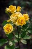 Желтый куст роз в саде Стоковое Изображение RF