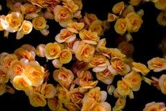 Желтый куст роз стоковые изображения