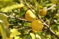 Желтый лимон на дереве лимона Стоковые Фото