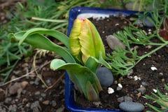 Желтый макрос 01 бутона тюльпана Стоковые Фотографии RF