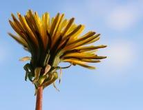 Желтый макрос одуванчика с предпосылкой голубого неба Стоковое Изображение RF
