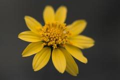 Желтый макрос студии лепестков маргаритки стоковое изображение rf