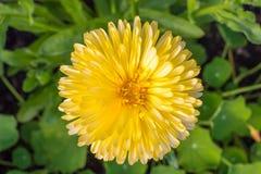 Желтый макрос хризантемы осени Стоковые Изображения RF