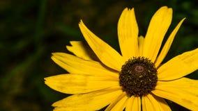 Желтый макрос цветка сверху Стоковое Изображение