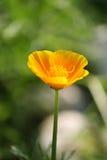 Желтый мак Стоковые Фотографии RF
