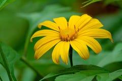 Желтый мексиканский солнцецвет Стоковые Изображения RF