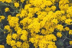 Желтый небольшой крупный план цветков растет в открытом саде : стоковое изображение rf