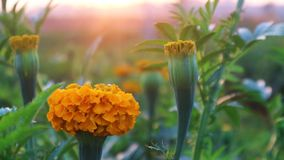 Желтый ноготк цветет очень большая плантация стоковая фотография