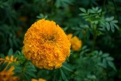 Желтый ноготк Стоковое Фото