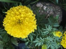 Желтый ноготк стоковые фотографии rf