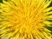 Желтый одуванчик вниз для предпосылки рамки стоковая фотография rf