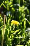Желтый одуванчик в природе Стоковая Фотография RF