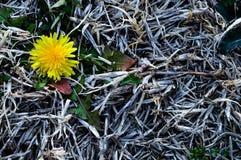 Желтый одуванчик изолированный в мертвой, сухой траве Стоковое Фото