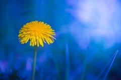 Желтый одуванчик на голубой предпосылке стоковая фотография