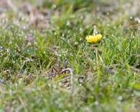 Желтый одуванчик на природе Стоковая Фотография