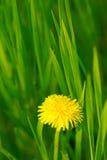 Желтый одуванчик Стоковые Фото