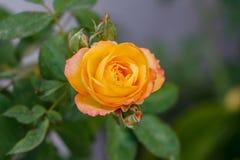 Желтый пинк Роза зацветая в саде стоковое изображение