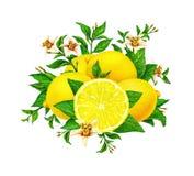 Желтый плодоовощ лимона на ветви при листья и цветки зеленого цвета изолированные на белой предпосылке Чертежи акварели вручную Стоковые Изображения
