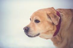 Желтый портрет собаки Лабрадора в зиме Стоковая Фотография RF