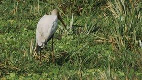 Желтый представленный счет аист питаясь в болоте в запасе игры mara masai сток-видео