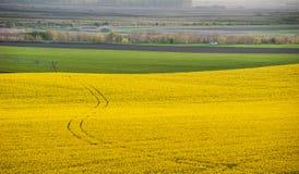 Желтый рапс поля Стоковая Фотография