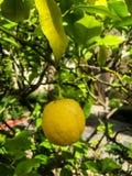 Желтый свежий лимон стоковые изображения