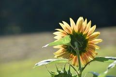 Желтый солнцецвет в утре Солнце стоковое изображение rf