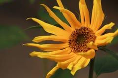 Желтый солнцецвет с длинными лепестками стоковые фотографии rf