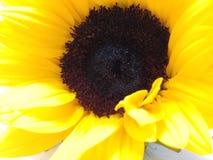 желтый солнцецвет Стоковые Изображения RF