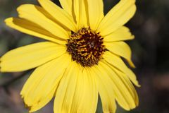 желтый солнцецвет стоковая фотография