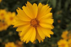 Желтый стоцвет в саде лета Стоковая Фотография