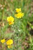 Желтый стоцвет (tinctoria Anthemis) стоковое фото rf
