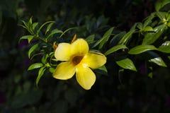 Желтый тропический цветок на зеленом фото крупного плана куста Зацветая тропическая деталь сада Стоковое фото RF