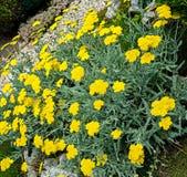 Желтый тысячелистник обыкновенный цветет, зеленый завод куста поля, Achillea стоковые фотографии rf
