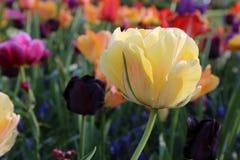 Желтый тюльпан в Keukenhof стоковое фото rf