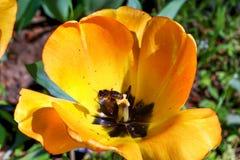 Желтый тюльпан с пчелой внутри крупного плана стоковая фотография rf