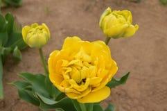 Желтый тюльпан Стоковые Изображения