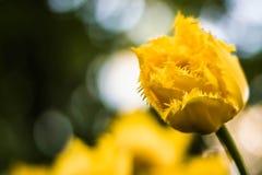 Желтый тюльпан Terry Стоковые Фото
