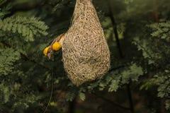 Желтый увенчанный мужчина размножения ткача baya сплетя свое гнездо осторожно стоковые изображения