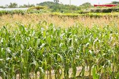 Желтый удар мозоли в зеленом цвете выходит на поле фермы Таиланд Стоковые Изображения